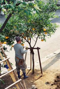 夏ミカンをオレンジの木に